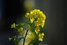 菜の花の花の画像003