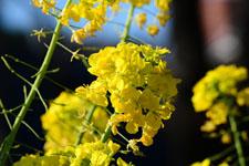 菜の花の花の画像004