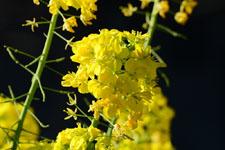 菜の花の花の画像005