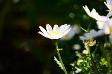マーガレットの花の画像001