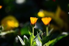 ヒメキンセンカの花の画像001