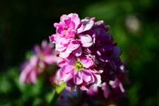 紫色の花の画像005