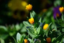 ヒメキンセンカの花の画像002