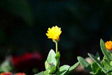 ヒメキンセンカの花の画像003