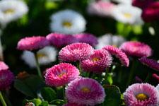 ピンク色のデージーの花の画像001