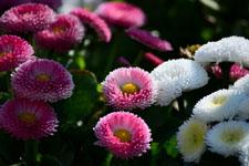 ピンク色のデージーの花の画像002