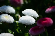 白いデージーの花の画像001