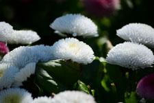 白いデージーの花の画像002