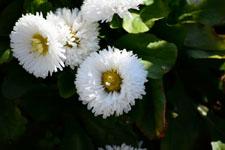 白いデージーの花の画像003