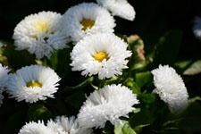 白いデージーの花の画像004