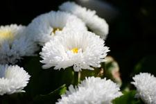 白いデージーの花の画像005