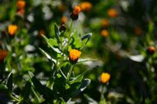 ヒメキンセンカの花の画像004