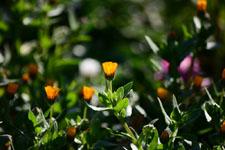ヒメキンセンカの花の画像005