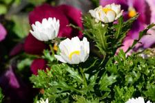 マーガレットの花の画像002
