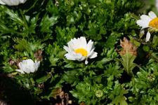 マーガレットの花の画像003