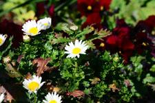 マーガレットの花の画像005