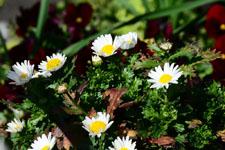 マーガレットの花の画像006