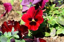 赤いパンジーの花の画像006