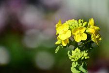 菜の花の花の画像006