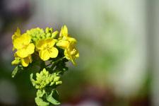 菜の花の花の画像007