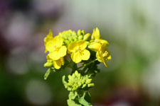 菜の花の花の画像008