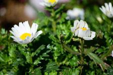 マーガレットの花の画像007