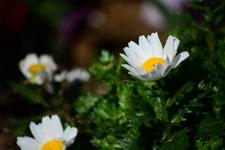 マーガレットの花の画像008