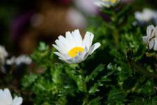 マーガレットの花の画像009