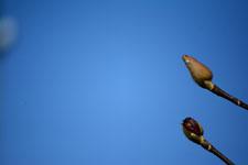 コブシの蕾の画像003