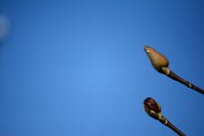 コブシの蕾の画像004