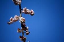 白梅の花の画像017
