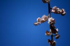白梅の花の画像019