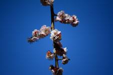 白梅の花の画像021