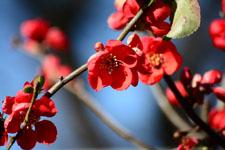 ボケの花の画像001