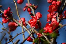 ボケの花の画像002
