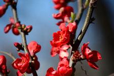 ボケの花の画像003