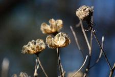枯れた花の画像001