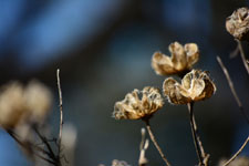 枯れた花の画像002