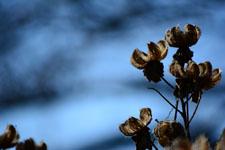 枯れた花の画像003