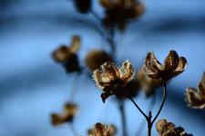 枯れた花の画像004