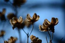 枯れた花の画像005