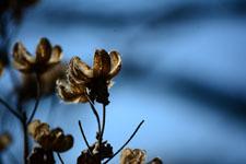 枯れた花の画像006