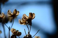 枯れた花の画像007