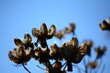枯れた花の画像008