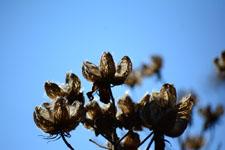 枯れた花の画像010