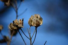 枯れた花の画像011