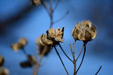 枯れた花の画像012