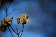 枯れた花の画像013
