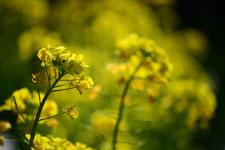 菜の花の花の画像009