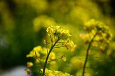 菜の花の花の画像010